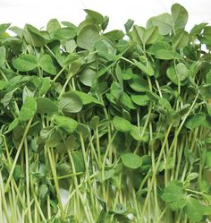 Grow nutritious microgreens in your home twelve months of the year. Learn how to grow micro-greens from seed with our helpful How to Grow Microgreens guide.
