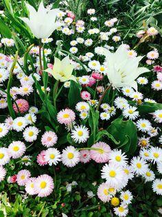 #garden#nature#daisies#tulips#love#<3#:)#Hungary#white#green#pink