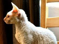 I have a Cornish Rex cat.  And I know what you're thinking; but believe it or not, she was a rescue and no one wanted her because they thought that there must be something wrong with. her