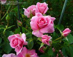 Shrub Rose 'Prairie Princess'Rosa~ Repeat bloomer very cold hardy & disease resistant (ARS 8.5)