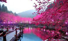 Cerejeira em Tokyo no Japão