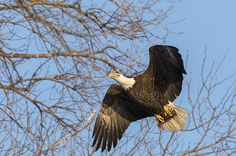 This adult American Bald Eagle has caught a fish in the river below and is flying to the safety of the trees to eat the fish. Eagle Wings, Bald Eagles, Raptors, Safety, Trees, Birds, Sky, River, Fish