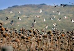 Pointer Wingshooting, Dove Duck Pigeon Perdiz Hunting in Argentina Dove Hunting, Fields, Amazing, Partridge, Cordoba, Argentina