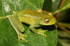 Did you know that the Bocaina tree frog (Aplastodiscus callipygius) has green bones and muscles? Bocaina tree frog or perereca-verde, is a species of frog in the family Hylidae. It is endemic to Brazil. Its natural habitats are subtropical or tropical moist montane forests and rivers. It is threatened by habitat loss.