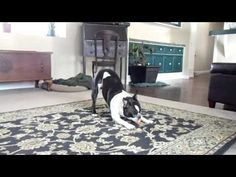 Our Boston Terrier Doc gets so happy sometimes that he does his impression of a bucking bronco.  Doc loves (LOVES!) chuck-it balls and almost every time he is playing with one of his chuck-its he will do the bucking bronco.