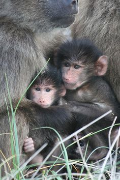 cuddly baboons