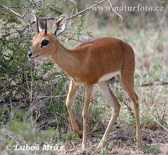 Antilopa trávní (Raphicerus campestris)