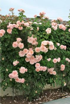 Rosier grimpant 'Rose de Tolbiac'