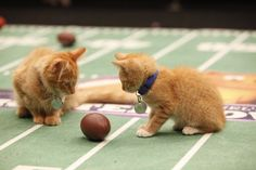 A bowl of their own: Kittens to compete on Super Bowl Sunday www.today.com: