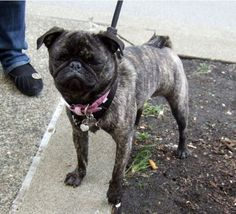 Brindle Pug. I didn't know they had these! Who knew about these?