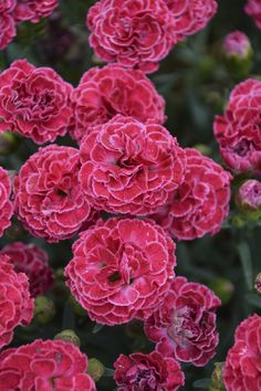 Proven Winners - Fruit Punch® 'Raspberry Ruffles' - Pinks - Dianthus hybrid pink raspberry pink plant details, information and resources. Dianthus Flowers, Pink Dianthus, Colorful Flowers, Pink Flowers, Beautiful Flowers, Fresh Flowers, Red Plants, Flowering Plants, Manualidades