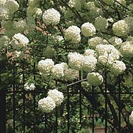 Chinese snowball viburnum - 6-20' tall and wide, full sun or light shade, moist /  well-drained soil, prune right after blooming