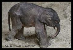 Planckendael est en deuil. Le petit éléphanteau est décédé