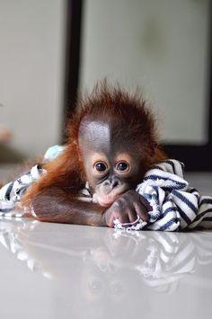 Borneo Orangutan Photo by wiwik astutik