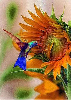 """Beating your wings and feathers, you broke free from this cage. Rising up to the sky you attained the world of the Soul."" —Rumi (Photo: Hummingbird On Sunflower by John Kolenberg) ..*"