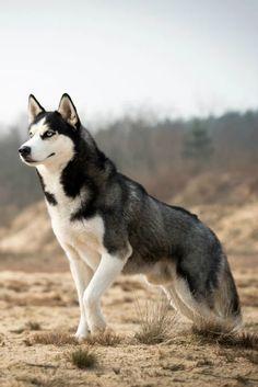 Husky in der Natur. Husky in der Natur. Puppy Husky, Cute Husky, Puppy Eyes, Puppy Goldendoodle, Pomeranian Husky, Yorkie Puppies, Beautiful Dogs, Animals Beautiful, Cute Animals