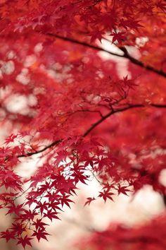 .Japanese Maple are so stunning...