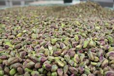Your pistachios are almost ready for you! #PistachioPower #pistachios #nuts #pistachiorecipes #horizonnutcompany #horizonnut #delicious #icecream #food #yummy #healthy #health #cook #recipe #walnuts #love #foodie #cooking