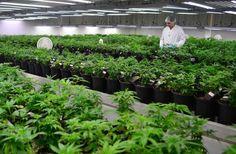 Ecco una breve panoramica sul mercato legale della cannabis e sulle opportunità che offre agli investitori più informati.