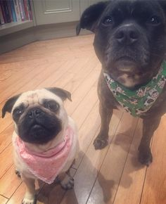 Time for bed say Mabel & Brian.. Don't worry we'll take off our @frankypantsbowtique bandanas.. Sweet dreams folks & we'll see you in the morning..  #goodnight #pugbasement #feature_do2#dogsofinstagram #pugmob #pugnation #zerozeropug #puglove #smilingpugs #pugrequest #flatnosedogsociety #TheTomCoteShow #pugsandkisses #puglife #insta_dogs #sendadogphoto  #pug #lacyandpaws #speakpug #pugsofinstagram #pugs #pugsproud_feature #dogs #pugsloversclub #cutepugsonly #cutepugs #srslycute…