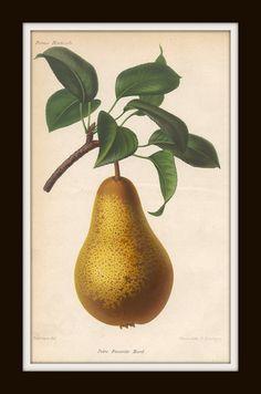 Antique Botanical Art Print French Fruit