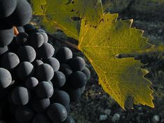 Wine Tasting vineyards near Montalcino for the famous Brunello wines. Our top suggestions for vineyards to include on your wine tasting itinerary Food Bulletin Boards, Brunello Di Montalcino, Different Wines, Best Of Italy, Tourism Website, Types Of Wine, Italian Wine, Wine And Spirits, Italy Vacation