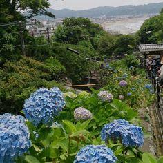 Sea and hydrangea Kamakura