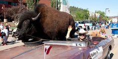 pet-buffalo
