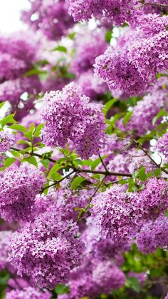 Download Wallpaper 720x1280 Lilac, Blossoms, Spring, Sharpness, Twigs, Shrubs Samsung Galaxy S3 HD Background