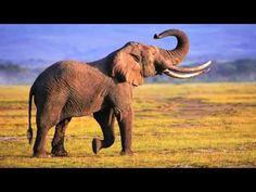 Ze kunnen zeggen wat ze willen maar de olifant, die heeft de dikste billen van het hele land en de giraf de allerlangste nek, en het nijlpaard de allergroots...