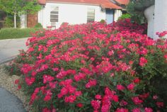 Introduced in 2000, 'Knockout' rose quickly became the best-selling landscape plant in the country. It had everything -- showy, continuous blooms; compact growth habit; tough-as-nails constitution;...