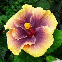 .Hibiscus. Aneela L