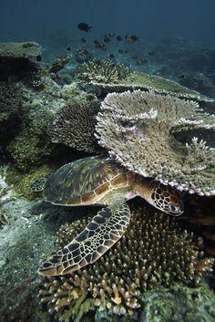 thelovelyseas:  Green Sea Turtle (Chelonia mydas) resting beneath ledge on coral reef, endangered, Sipadan Island, Celebes Sea, Borneo byHiroya Minakuchi