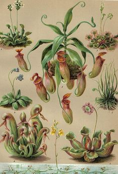 stilllifequickheart: Unknown artist Carnivorous Plants 1903 - Another! Illustration Botanique, Plant Illustration, Plante Carnivore, Plant Tattoo, Nature Sketch, Plant Wallpaper, Plant Aesthetic, Plant Drawing, Carnivorous Plants