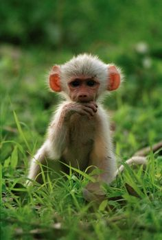 Baby baboons are oh, so cute!
