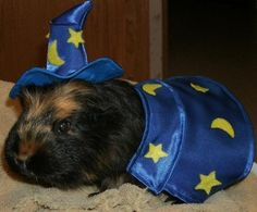 Abracadabra! Wizard guinea pig and 8 other pets in costume - TODAY Celebrates