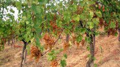 Degustazione dei vini dell'azienda agricola Enrico Loschi, Colli Piacentini DOC. http://winedharma.com/it/cantina/cantina-enrico-loschi