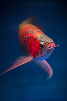 Arwana fish | by Graft Ardhi on 500px