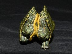 True Siamese Red Eared Sliders for sale from The Turtle Source