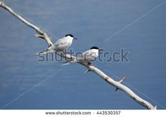 Stock Photo: Two common terns (Sterna hirundo) sitting on a tree branch close to each other. Beautiful white birds above blue water of a lake.