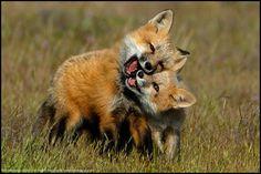 Innocence by Paul Bratescu, via 500px  (Fox cubs at play)
