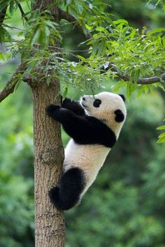 This page lists cute panda things including panda clothing, panda jewelry, panda toys, panda gifts and more. Also, latest giant panda information and facts are posted to keep you be aware of what happened to these cuddly animals. Cute Baby Animals, Animals And Pets, Funny Animals, Baby Pandas, Wild Animals, Panda Bebe, Cute Panda, Beautiful Creatures, Animals Beautiful