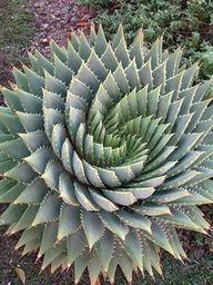 Aloe Polyphylla, or spiral aloe - Drought tolerant, pretty. #Recipes …