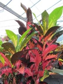 Croton 'Iceton'  'Iceton' is the pinkest of the crotons. The medium to large leaves are a blushing mix of pink and peach outlined in a deep purple-green color with new growth popping at the top in a fresh green.