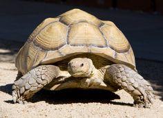 Google Image Result for http://tortoiseshack.com/store/images/Sulcata%2520Tortoise%2520Large%2520Female.jpg  Love these guys!