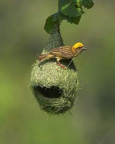 weaver extraordinaire....Male Baya Weaver bird...
