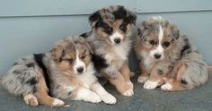 australian shepherd -i love Aussie pups! Three blue merles