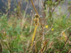 Dragonfly | Sympetrum fonscolombii