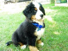 Bovaro Bernese Puppy #mydogspace Love Pet, I Love Cats, Puppy Love, Bernese Puppy, Bernese Mountain, Mountain Dogs, Dog Boarding, Dog Owners, Cat Lady