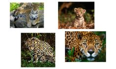 Life Cycle Of Jaguar Google Search